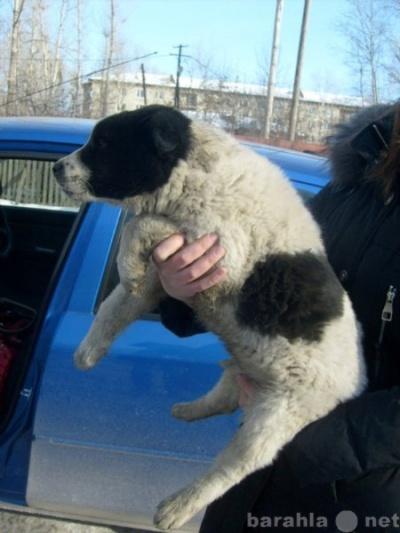 Отдам даром щенок на охрану в Тюмени.